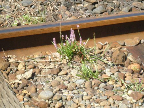 線路内に咲く花(2012年10月8日・真岡鐵道ひぐち付近)