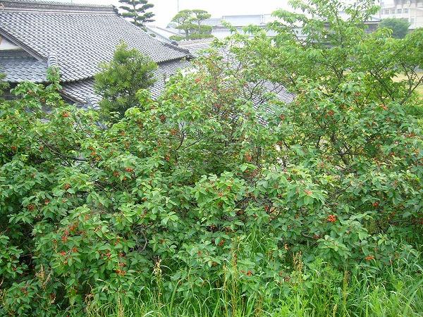 さくらんぼの樹