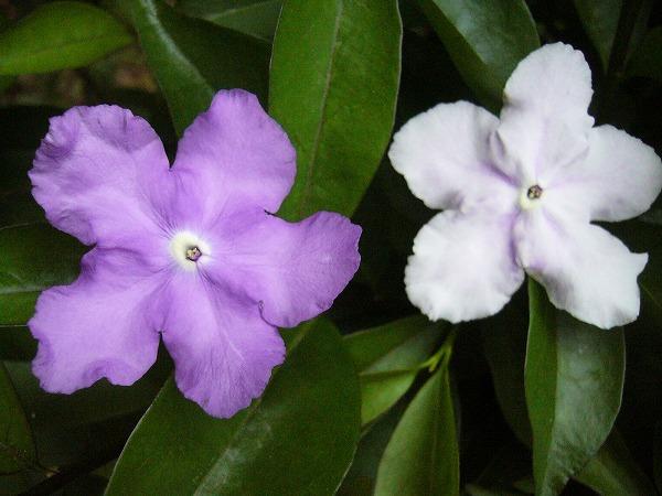 マツリカ花