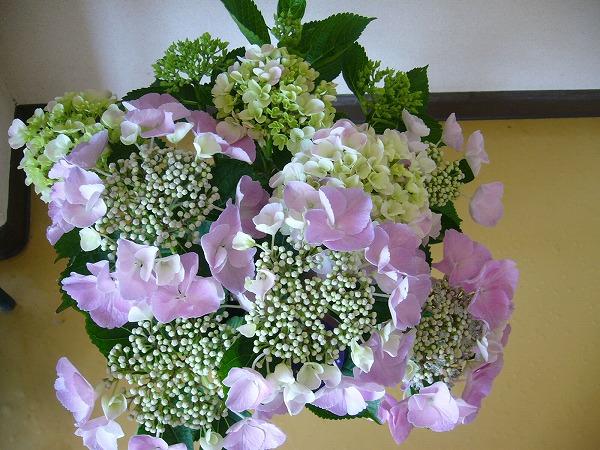 幼稚園紫陽花