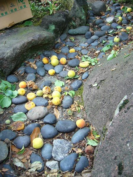 梅の実落ちてる