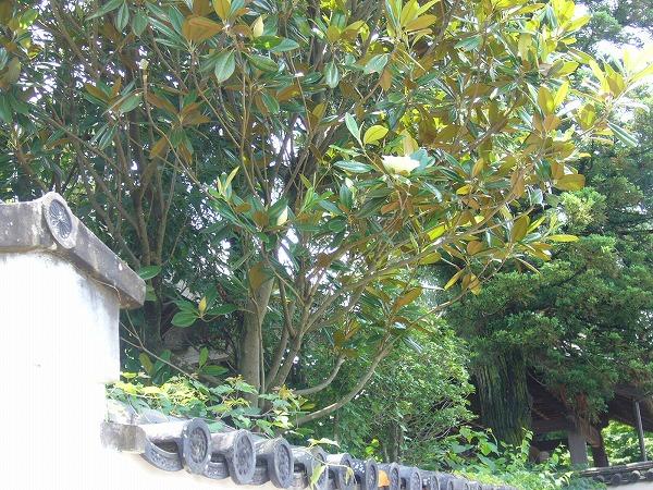 タイサンボクの木