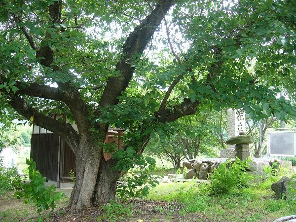 花立碑の桜の樹