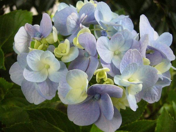 伊舎那院紫陽花
