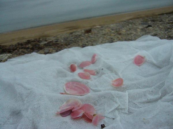土産に桜貝