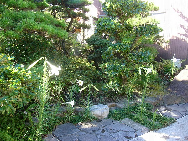 庭にもタカサゴユリ