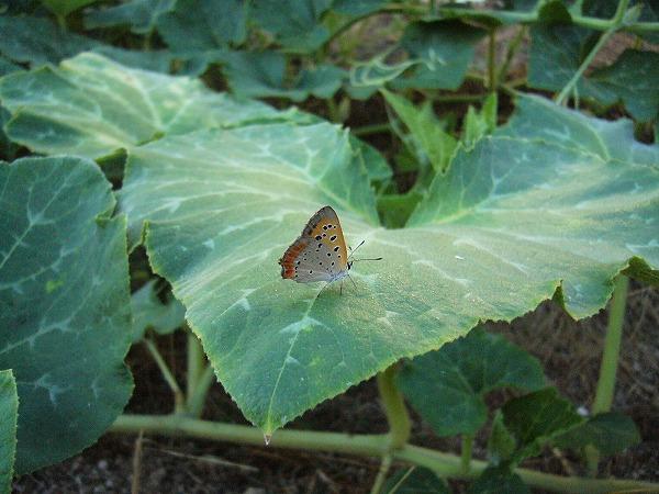 カボチャの葉に蝶