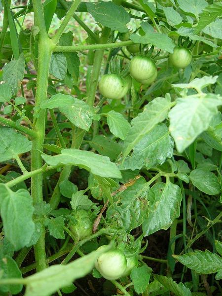 ミニトマト緑縦