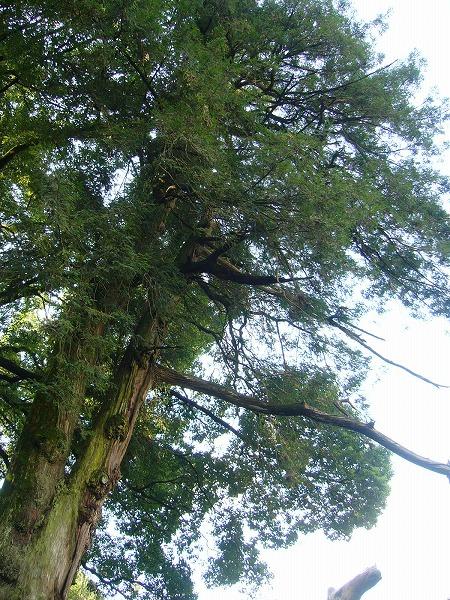 カヤ?の木(碁盤を作る木)