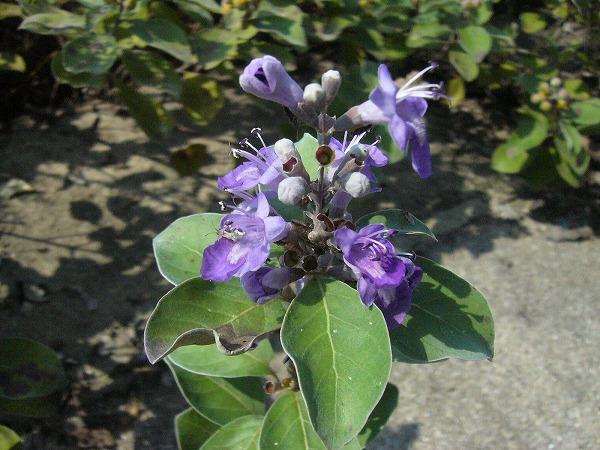 ハマゴウ(浜香)花