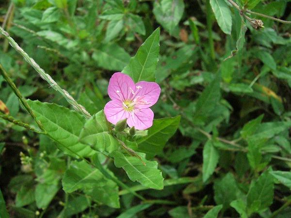 道草の花2