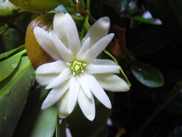 シキビの花1