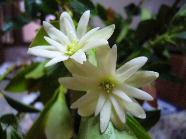 シキビの花2