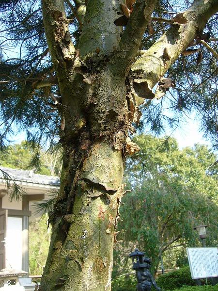 松の木なのに?