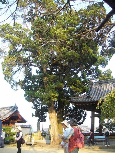 立派なハクの樹