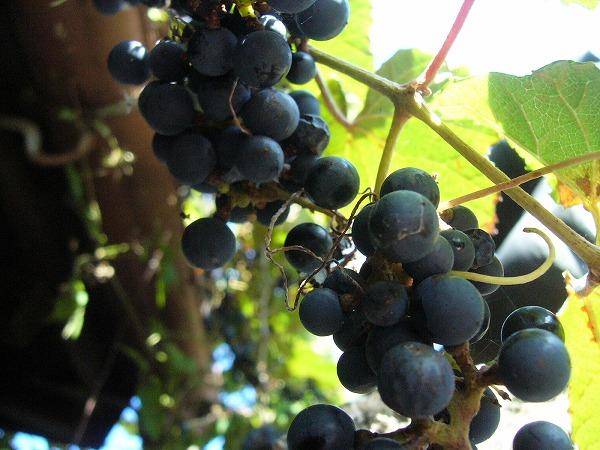 山葡萄美味しい