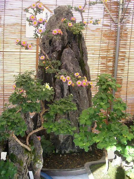 菊の盆栽1