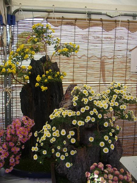 菊の盆栽2