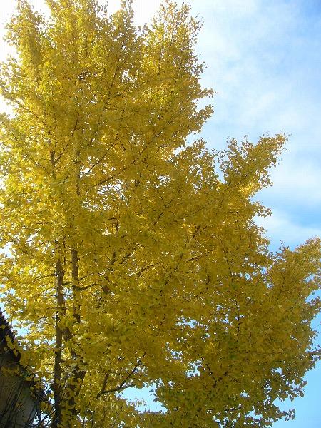 三野の銀杏の樹