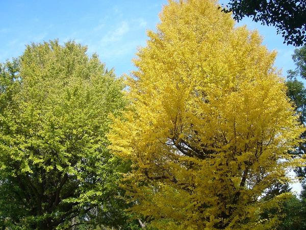 緑と黄色の銀杏