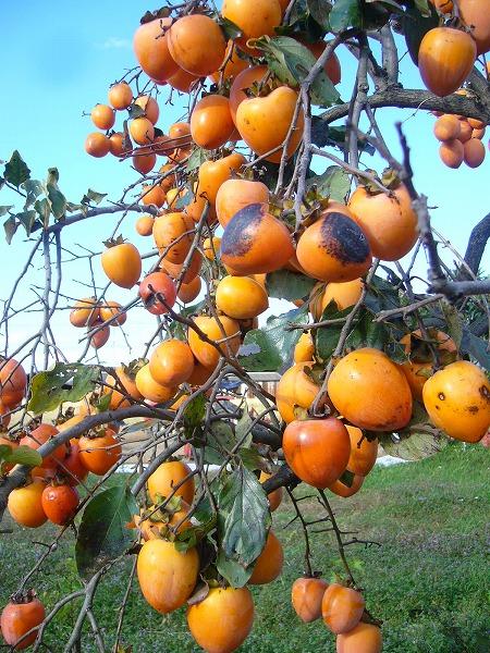 柿の実縦2