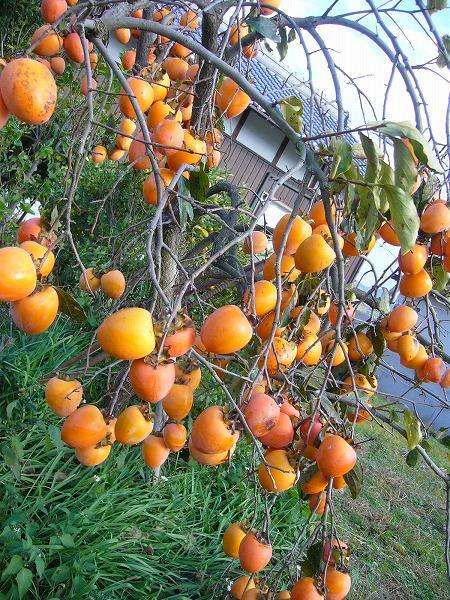 柿の実縦1