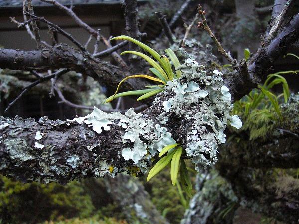 梅の古木横