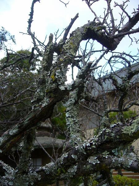 梅の古木縦
