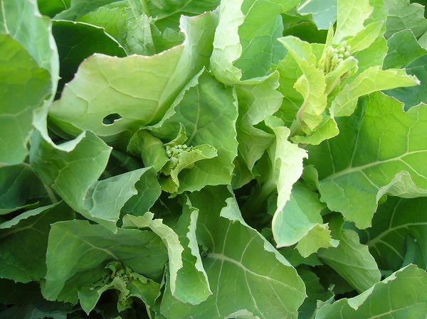 摘む菜花 26.2.20