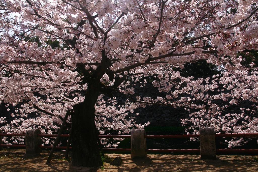 s-桜20120402 011