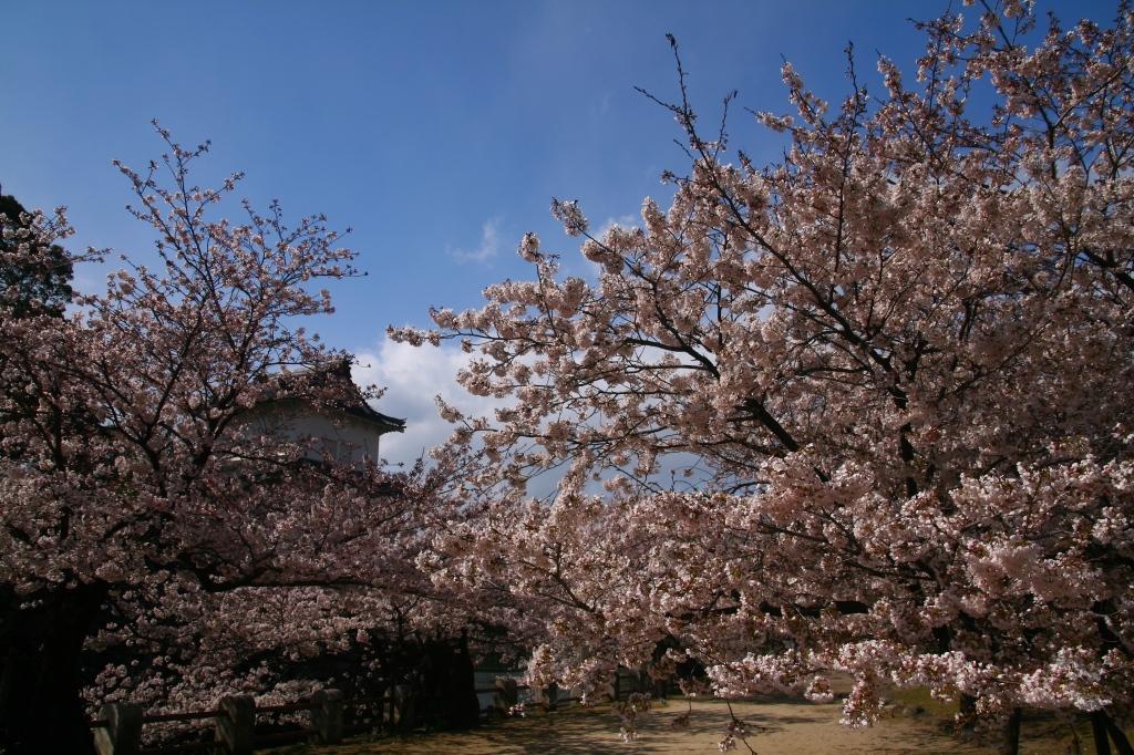 s-桜20120402 013