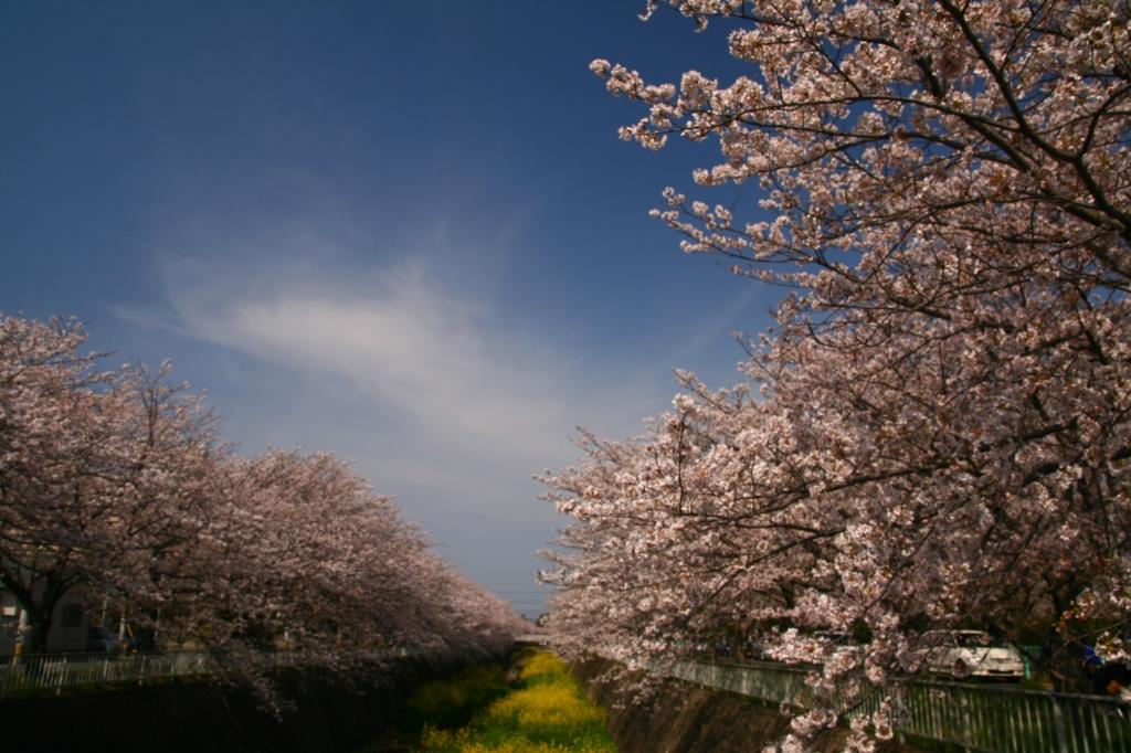 s-桜20120404 011