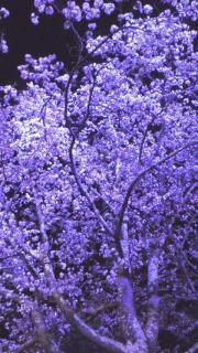 夜桜2012