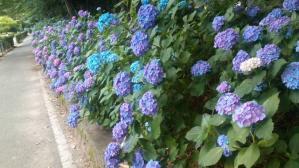 12.6紫陽花①