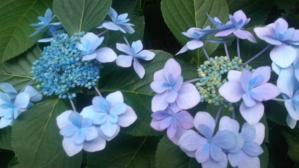 12.6紫陽花②