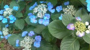 12.6紫陽花③