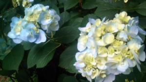 12.6紫陽花④
