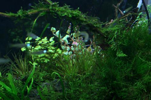 ロタラ水上葉植え込み