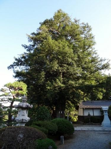 4光明寺のかや (900x1200)