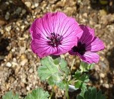 大輪赤花フウロ