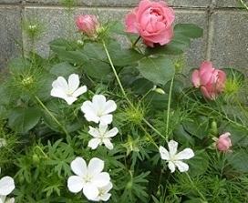 ダビンチと白花フウロ