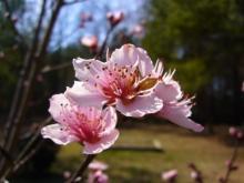 アラバマ生活雑記帳-桜