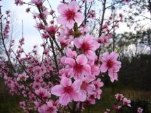 アラバマ生活雑記帳-桃の花