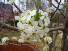 アラバマ生活雑記帳-梨の花