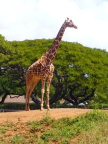 アラバマ生活雑記帳-Honolulu Zoo 2