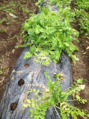 2014.1.3家庭菜園3