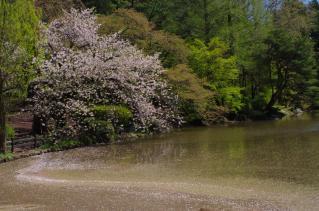 散った桜と咲く桜