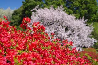 ツツジもきれいに咲いています