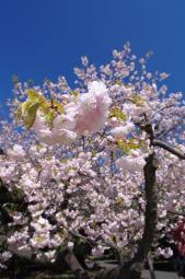 青空に花、くぅー