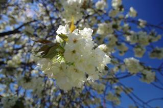 ウコン桜が気に入りました